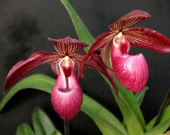 Orchideen Rarität